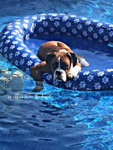 Boxer in the Pool Raft